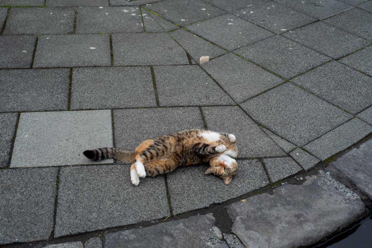 Cat in downtown Reykjavik