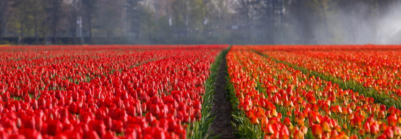 Lisse Tulips