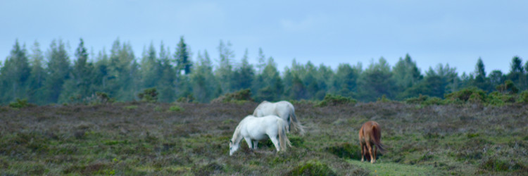 Horses grazing in the New Forest